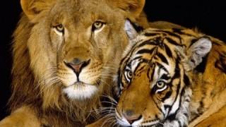 【動物】ネコ科の動物vsダンボール特集