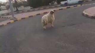 羊さんが道路に飛び出て車に轢かれてしまう