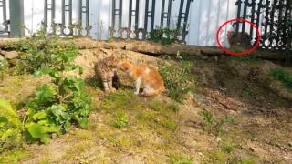 ニャンコ同士の喧嘩に仲裁に入る猫さんが格好良すぎるwww