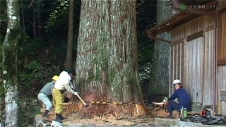 樹齢400年の巨木を倒す男たち