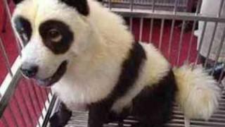 中国では犬なのに犬らしくない格好が流行っている件